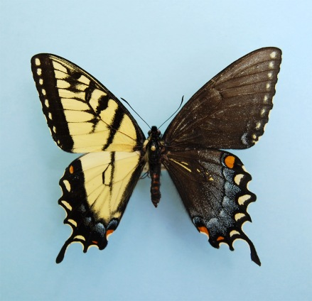 Genetic anomaly in butterflies