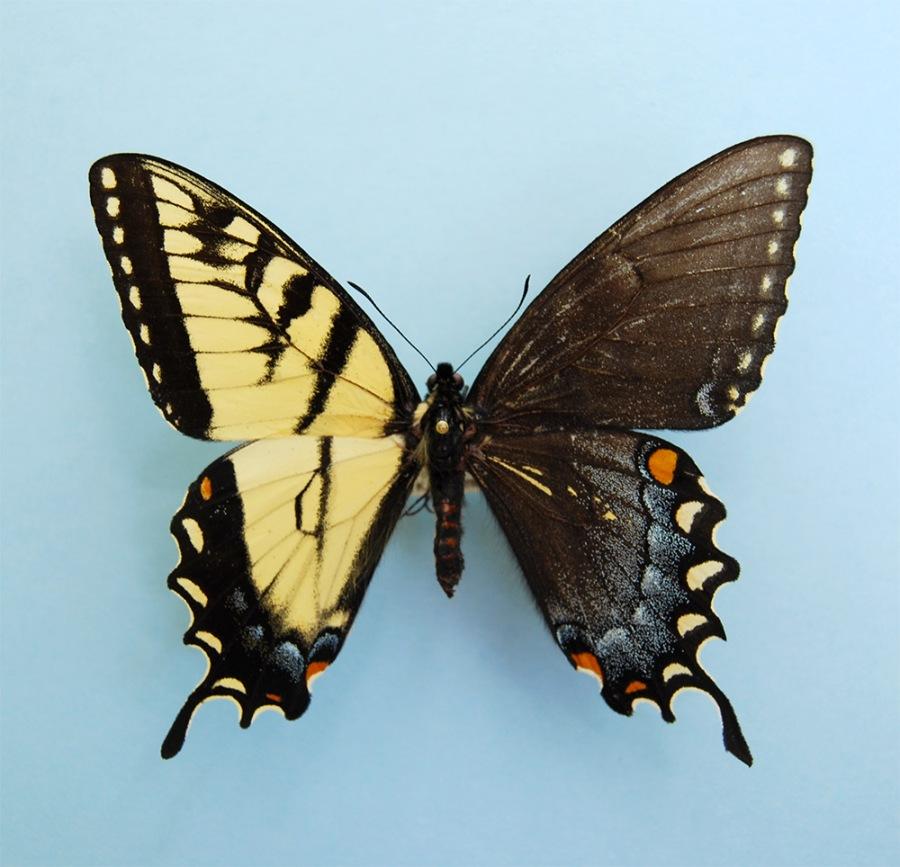 Genetic anomaly in butterflies