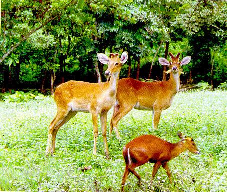 Sangai deer, Manipur