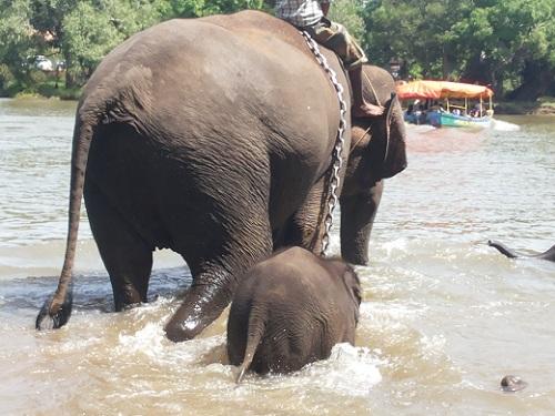 Elephants Wading