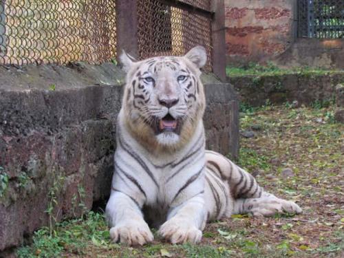 White tiger Nanadankanan