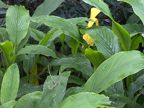 Turmeric plant, Spice Garden , Goa